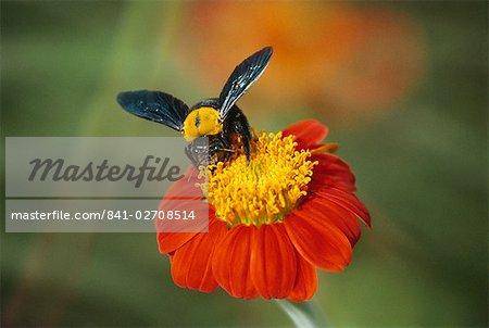 Bumble bee on a dahlia, England, United Kingdom, Europe