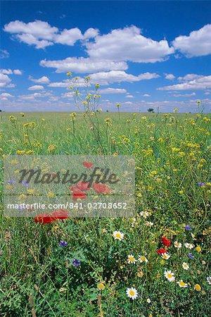 Field of wild flowers, near Utande, Guadalajara, Castilla-La Mancha, Spain, Europe