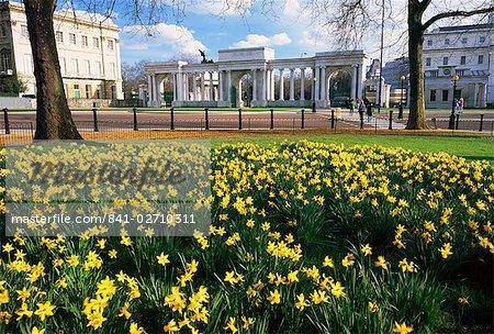 Daffodils in Hyde Park near Hyde Park Corner, London, England, United Kingdom, Europe