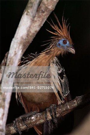 Hoatzin (Opisthocomus hoazin), Amazonian bird, Parque Nacional Madidi, Bolivia, South America