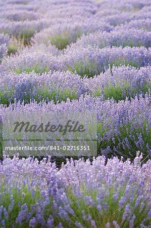 Lavender Field, Sault, Luberon, France