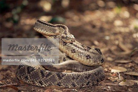 Close-up of a rattlesnake, Belize, Central America