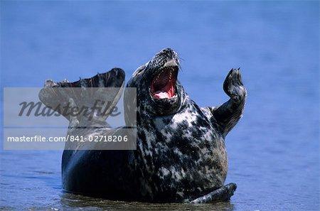 Gray Seal, (Halichoerus grypus), Helgoland, Schleswig-Holstein, Germany