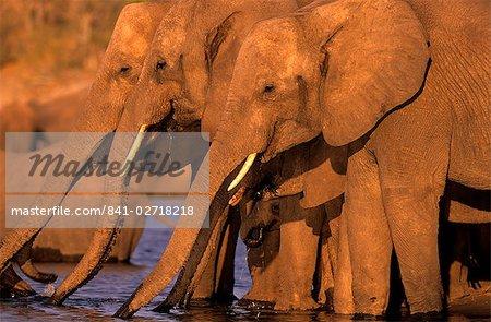 African Elephant, (Loxodonta africana), Chobe River, Chobe National Park, Botswana
