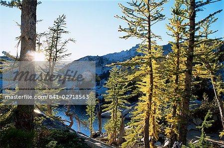 Alpine larch trees (Larix lyalli), Enchantment Lakes, Alpine Lakes Wilderness, Washington state, United States of America, North America