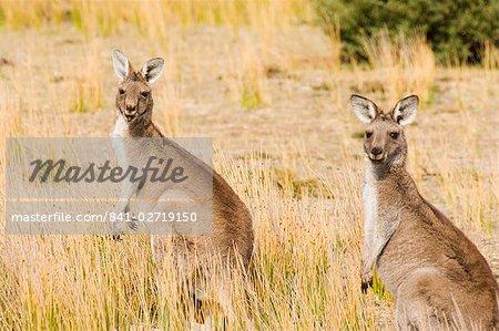 Eastern grey kangaroos, Wilsons Promontory National Park, Victoria, Australia, Pacific