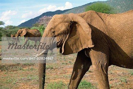 Elephant, Samburu National Reserve, Kenya, East Africa, Africa