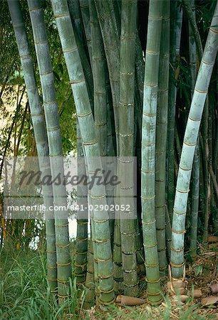 Bamboo stems in the Peradeniya Botanical Gardens in Kandy, Sri Lanka, Asia