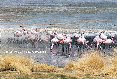 Flamingoes in small salt lake near Laguna Colorado, Southwest Highlands, Bolivia, South America