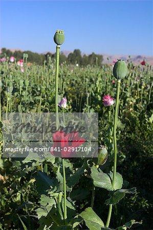 Poppy field between Daulitiar and Chakhcharan, Afghanistan, Asia