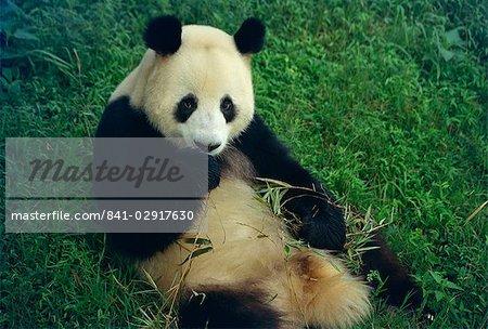 Giant panda, Sichuan Province, China, Asia