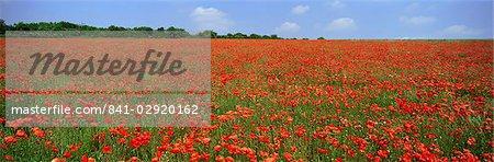Field of wild poppies, Wiltshire, England, United Kingdom, Europe