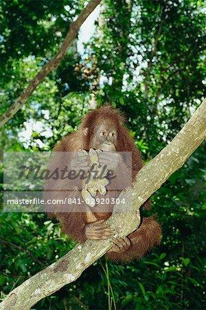 Orangutan (Pongo pygmaeus) sits in a tree eating bananas, Sepilok Sanctuary, Sandakan, Sabah, Borneo, Malaysia, Asia