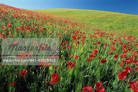 Poppy field near Montalcino, Tuscany, Italy, Europe