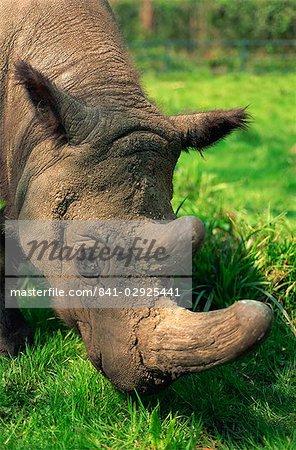 Male Tormanga, hairy rhino (Sumatran rhino), near extinct as only 500 left, in captive breeding programme, Port Lympne Zoo, Kent, England, United Kingdom, Europe