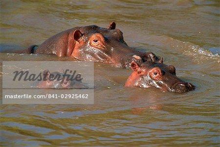 Hippos (Hippopotamus amphibius) relaxing in the Mara River, Masai Mara, Kenya, East Africa, Africa