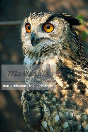 European eagle owl, New Forest Owl Sanctuary, Ringwood, Hampshire, England, United Kingdom, Europe