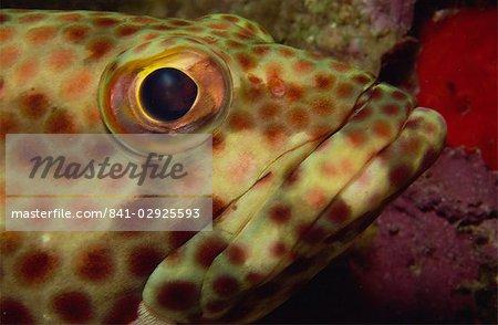 Close-up of rock hind (Epinephelus adscensionis), Sabah, Malaysia, Borneo, Southeast Asia, Asia