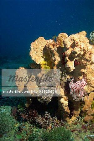 Sponge with crinoids or featherstars, Sabah, Malaysia, Borneo, Southeast Asia, Asia