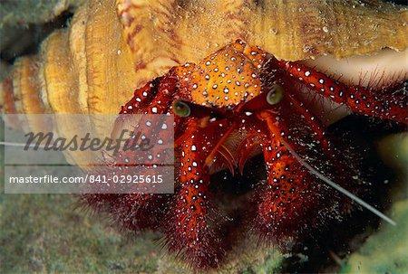 Hermit crab, Sabah, Malaysia, Borneo, Southeast Asia, Asia