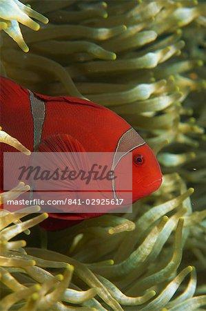 Clownfish taking refuge in host anemone, Saparua Island, Moluccas, Indonesia, Southeast Asia, Asia