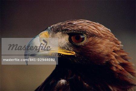 Portrait of a golden eagle, Highlands, Scotland, United Kingdom, Europe