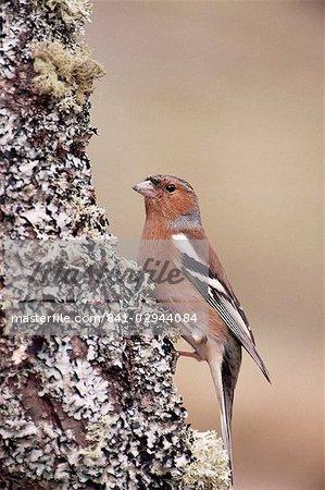 Male chaffinch, Highland region, Scotland, United Kingdom, Europe