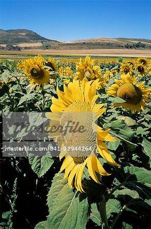 Sunflowers, Andalucia, Spain, Europe