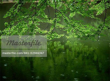 Beech leaves over lake, Waggoners Wells, Grayshot, Surrey, England, United Kingdom, Europe