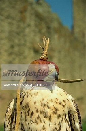 Head of hooded Saker falcon, Ludlow Castle, Shropshire, England, United Kingdom, Europe