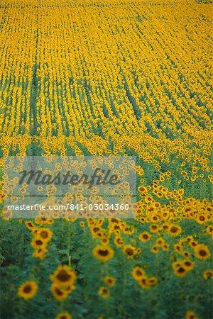 Sunflower field,Tuscany,Italy