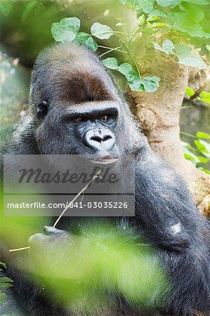 Gorilla in Lorro Park,Tenerife,Canary Islands,Spain,Atlantic,Europe