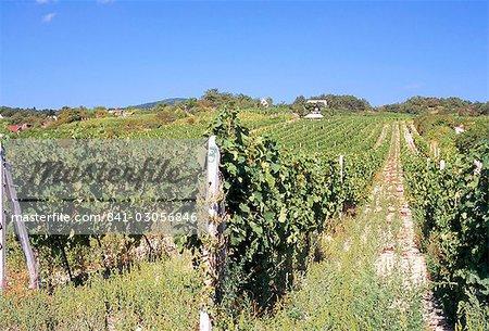 Vineyards in village of Modra, Bratislava Region, Slovakia, Europe