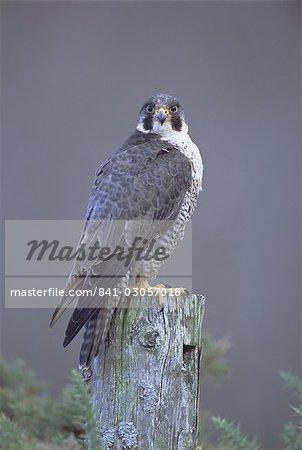 Peregrine falcon (Falco peregrinus), Scotland, United Kingdom, Europe