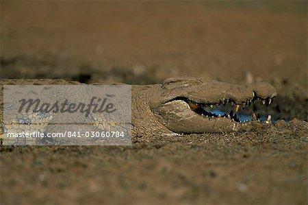 Nile crocodile (Crocodylus niloticus), Kruger National Park, South Africa, Africa