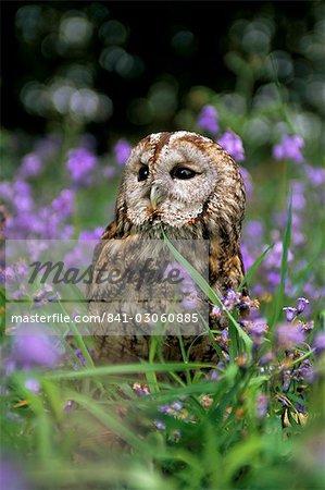 Captive tawny owl (Strix aluco) in bluebells, United Kingdom, Europe