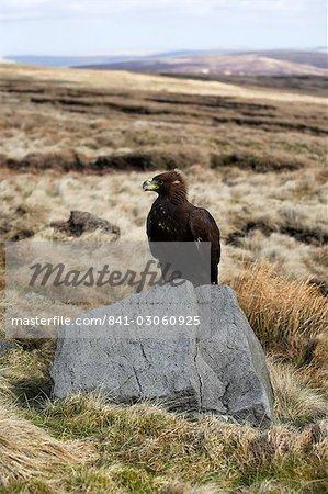 Golden eagle calling, Aquila chrysaetos, moorland, captive, United Kingdom, Europe