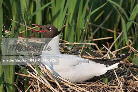 Blackheaded gull, Larus ridibundus, on nest, Leighton Moss R.S.P.B. Reserve, England, United Kingdom, Europe