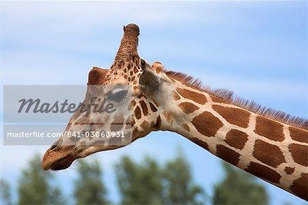 Reticulated giraffe (Giraffa camelopardalis reticulata), captive, native to East Africa, Africa