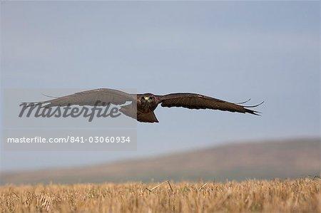 Buzzard (Buteo buteo), flying over farmland, captive, Cumbria, England, United Kingdom, Europe
