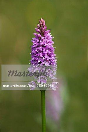 Common spotted orchid (Dactylorhiza fuchsii), Gait Barrows Nature Reserve, Arnside, Cumbria, England, United Kingdom, Europe