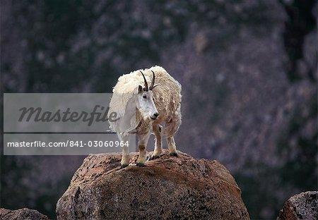 Mountain goat on peak, Mt. Evans, Colorado, United States of America, North America