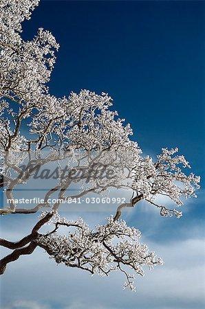 Snow on tree, Wallcrags, Northumbria, England, United Kingdom, Europe