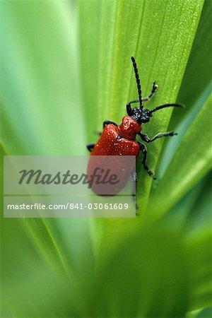 Lily leaf beetle, Lilioceris lilii, Bielefeld, Germany, Europe