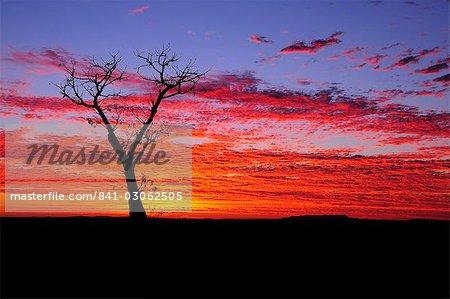 Boab tree at sunrise, Kimberley, Western Australia, Australia, Pacific