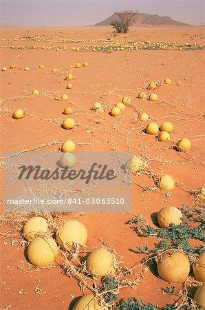 Desert pumpkins, Southwest Desert, Libya, North Africa, Africa