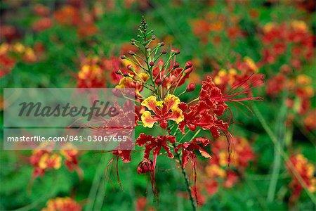 Close-up of red flowers on Pulau Manukan an island in Tunku Abdul Rahman Park, offshore of Kota Kinabalu, island of Borneo, northern tip, Sabah, Malaysia, Southeast Asia, Asia