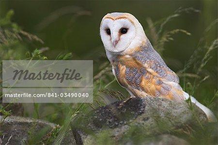 Barn owl on dry stone wall, Tyto alba, United Kingdom, Europe