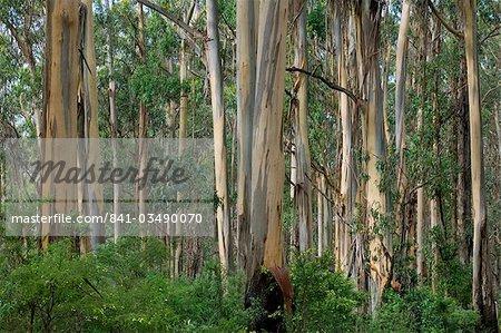 Eucalyptus trees, Great Ocean Road, Victoria, Australia, Pacific
