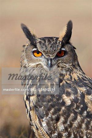 Eurasian eagle owl (Bubu bubo) in captivity, Boulder County, Colorado, United States of America, North America